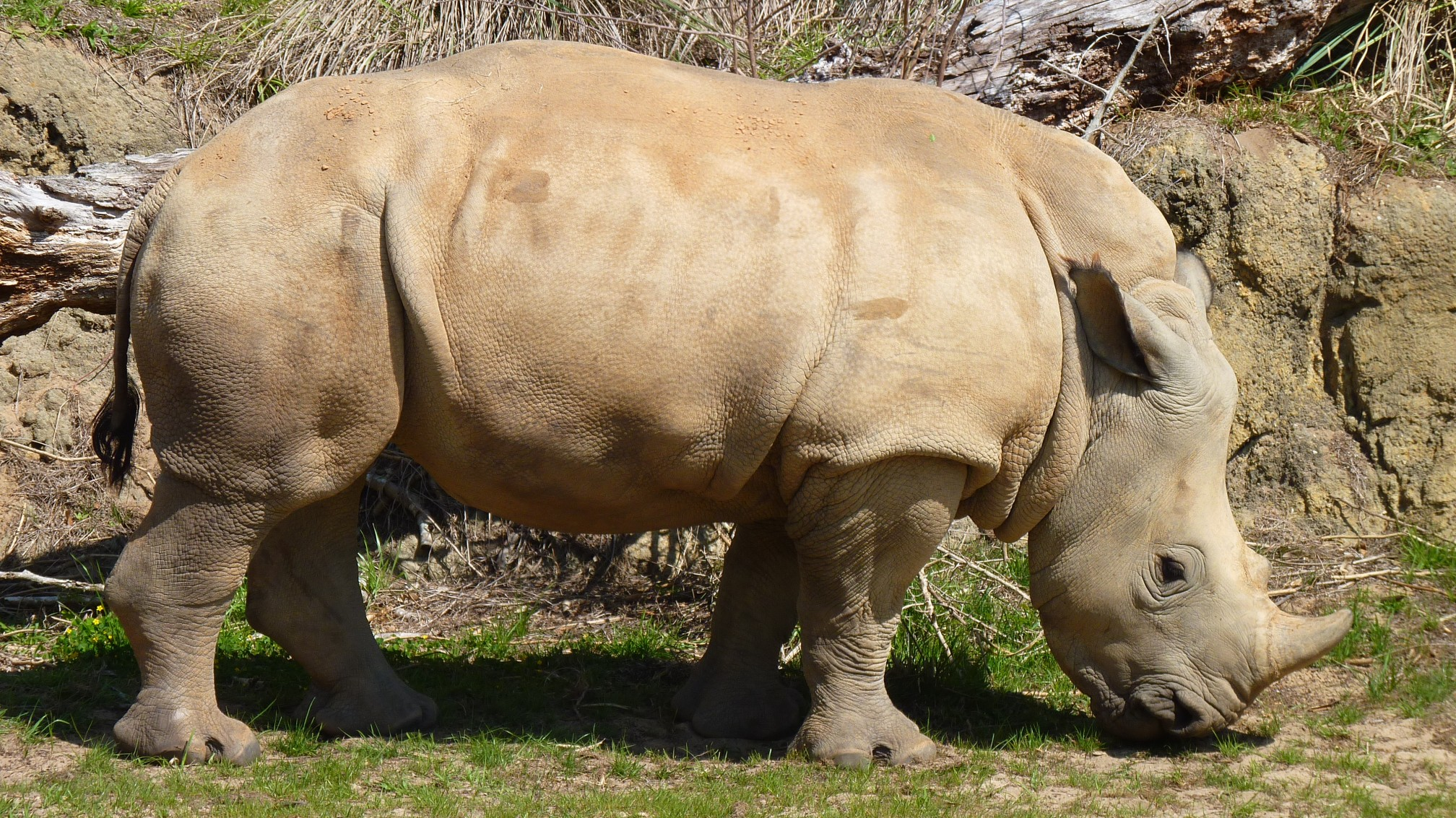 Jud's Disney Picture of the Day: BABY WHITE RHINO