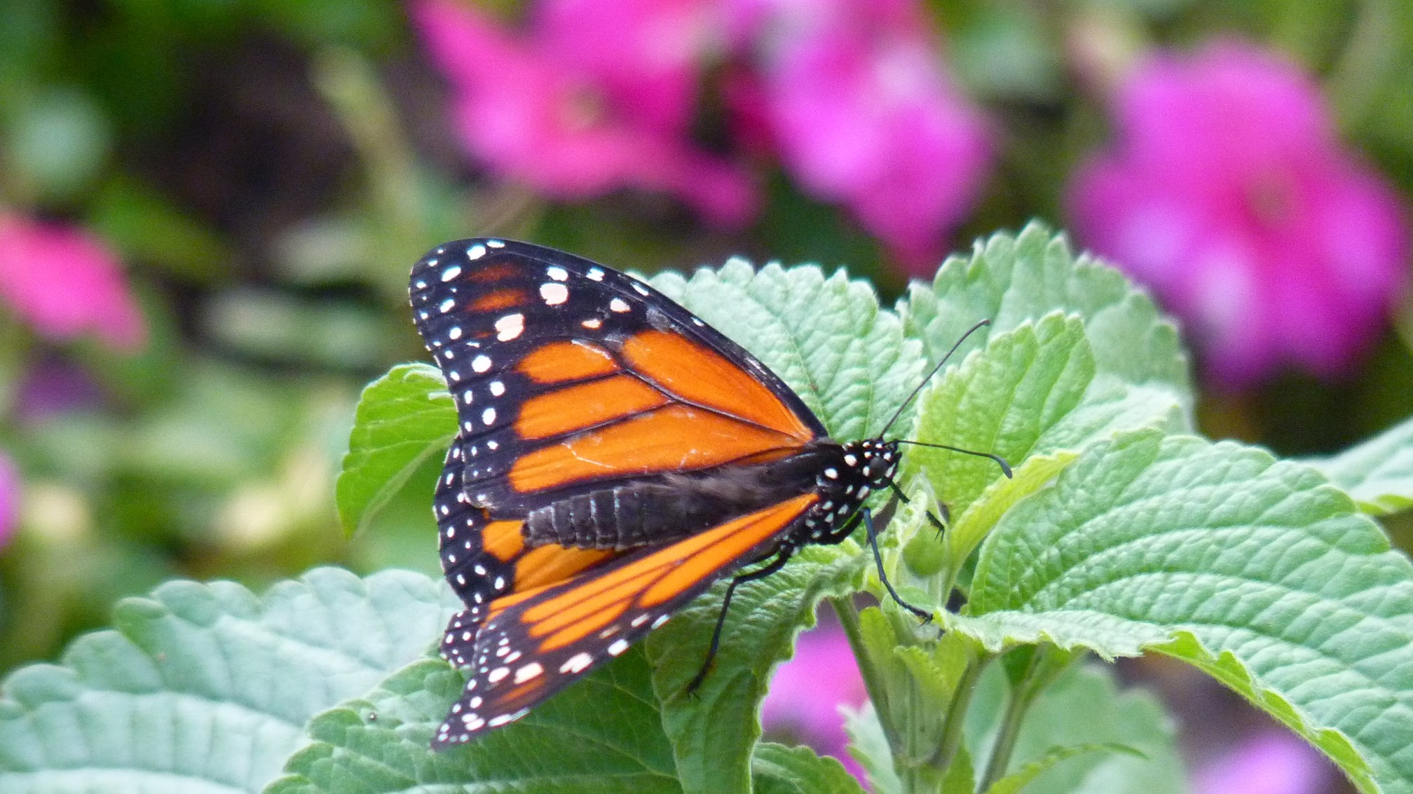 Jud's Disney Picture of the Day: MONARCH