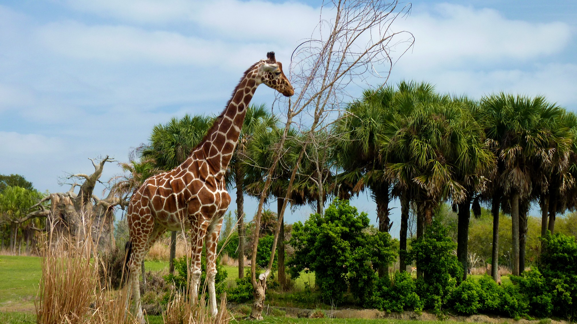 Jud's Disney Picture of the Day: GIRAFFE AND TREES