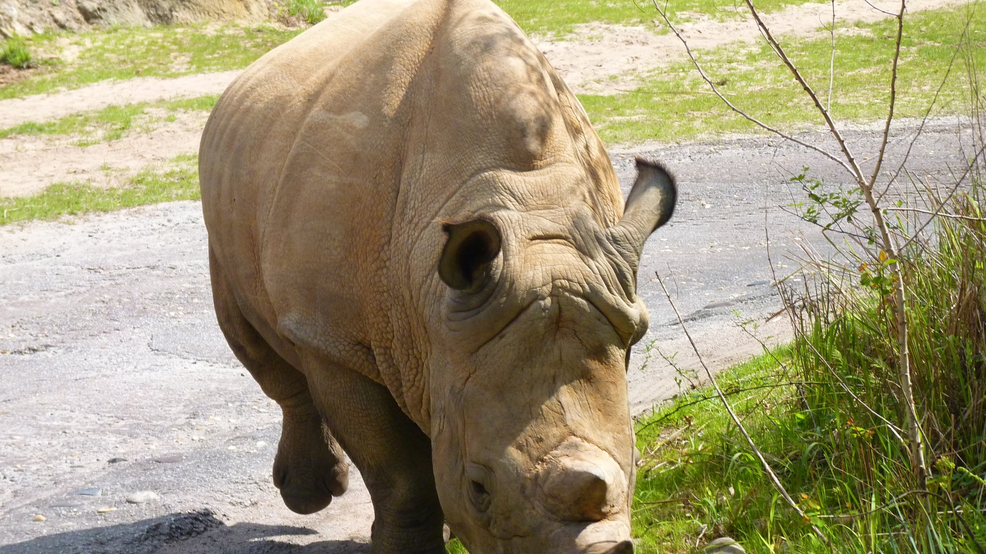Jud's Disney Picture of the Day: WHITE RHINO