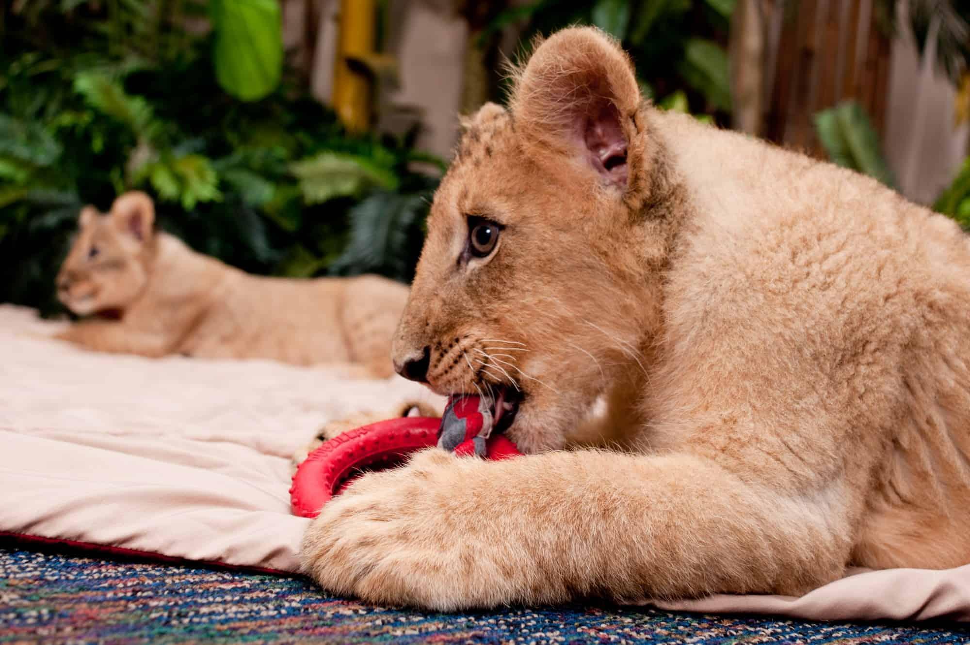Lion Cubs - Busch Gardens Tampa