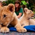 FACEBOOK FANS NAME BUSCH GARDENS' LION CUB SISTERS Tampa, Fla.– Busch Gardens® Tampa recently welcomed three lion cubs to the park, one male and two unrelated females.   After a week long poll, 6,000 Busch Gardens Tampa Facebook fans voted to name the two lion cub sisters.  The winning names for […]