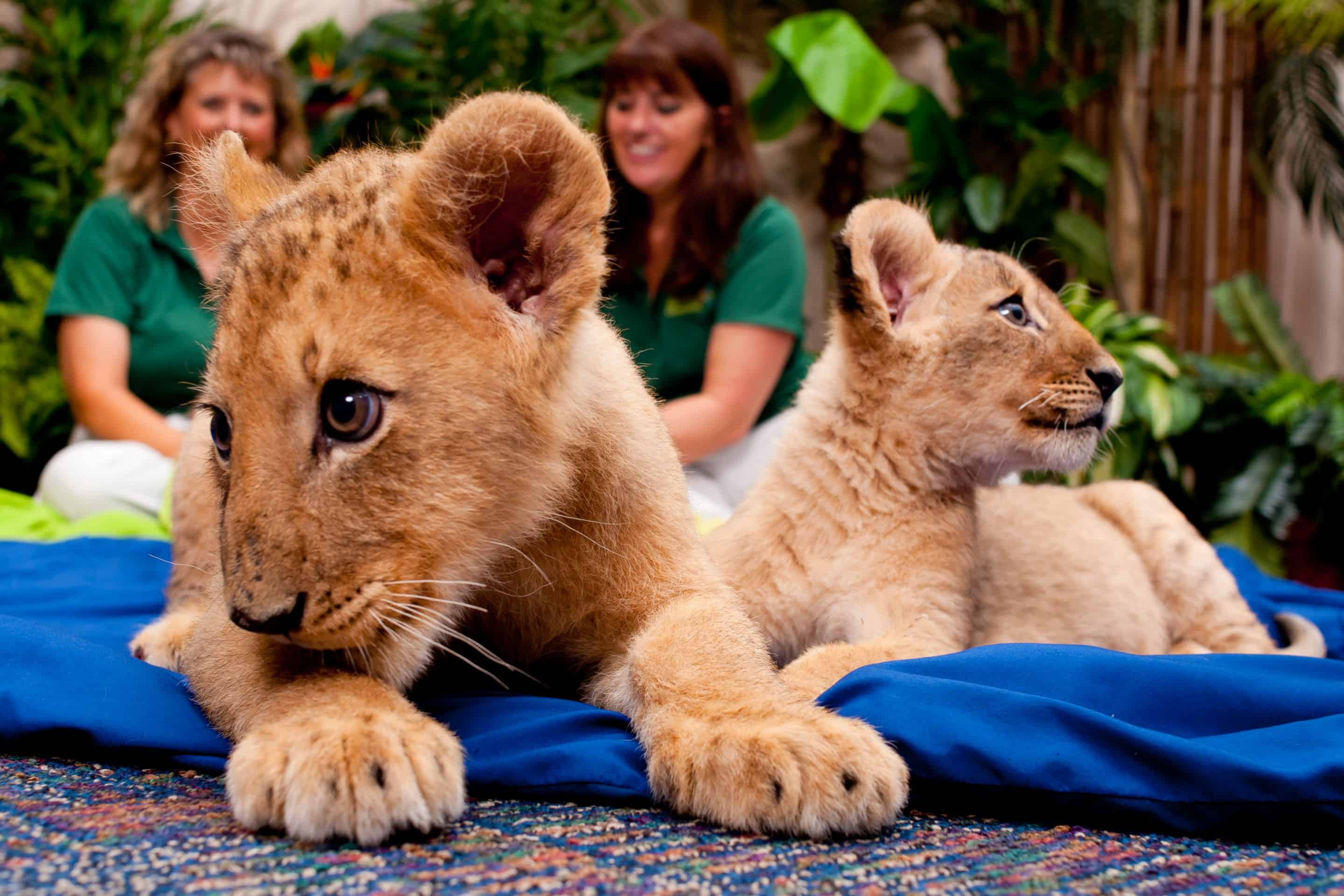 Facebook Fans Name Busch Gardens Tampa's Lion Cub Sisters