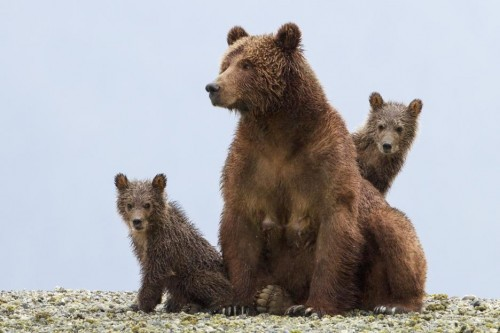 Disneynature Bears: A Must-See Visual Treasure